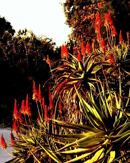 Multi Stemmed Aloe: A. arborescens