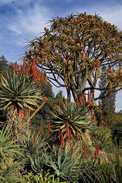 Aloe bainesii