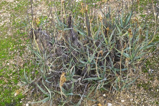 Aloe thompsoniae