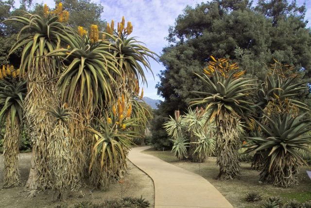 Single stemmed aloes: A. ferox(left), A. speciosa(middle), and A. Marlothii(right)
