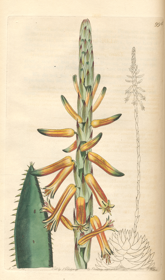 Image of Aloe brevifolia