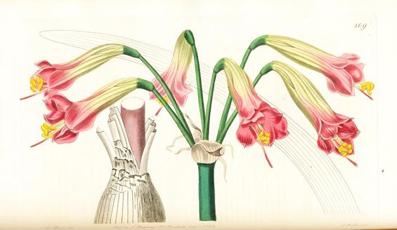 Image of Amaryllis ignea
