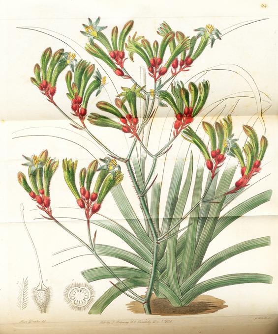 Image of Anigozanthos flavidus