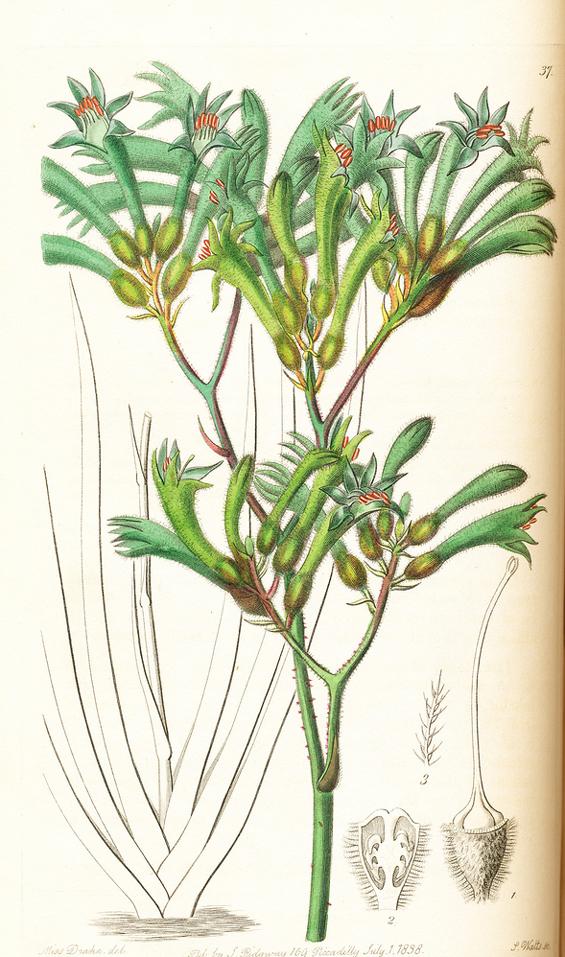 Image of Anigozanthus flavidus