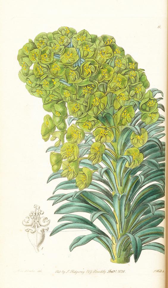 Image of Euphorbia veneta