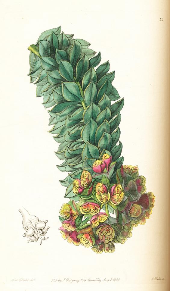 Image of Euphorbia rigida