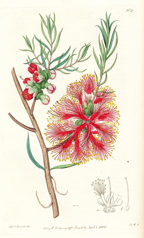 Image of Melalueca fulgens