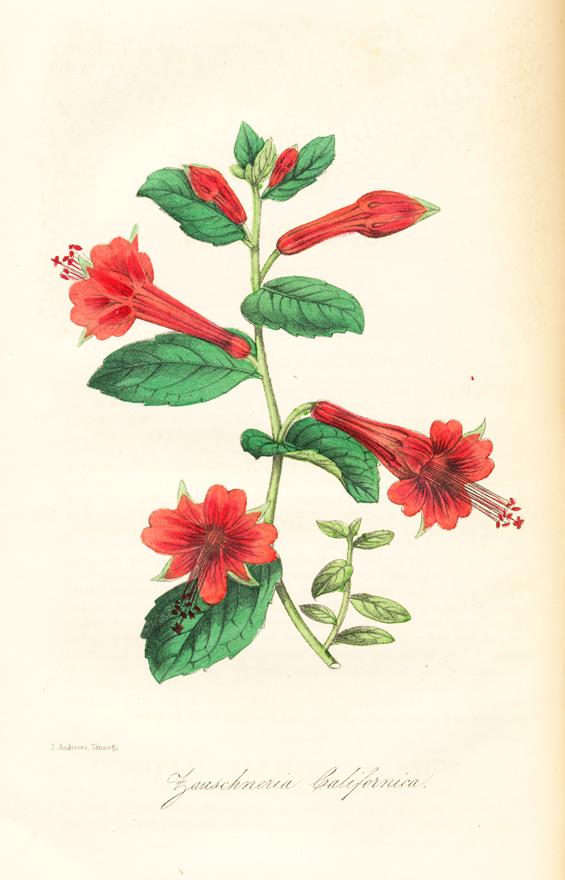 Image of Epilobium canum